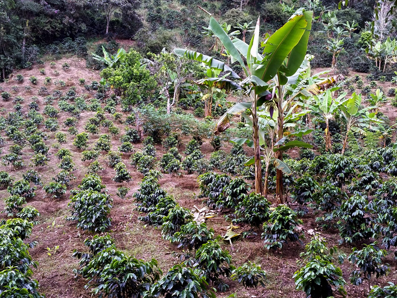 Finca La Despensa currently maintains 6,500 Arabica coffee trees of the Colombia and Castillo variety.