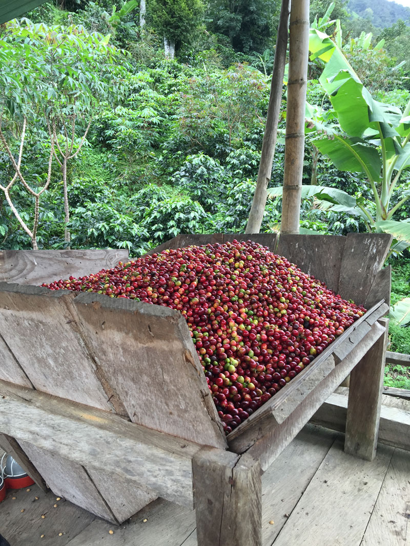 A good picker averages approximately 160 to 240 pounds of coffee cherries a day, which will produce 32 to 48 pounds of green coffee beans. At Finca La Despensa, each worker is paid a daily wage for his or her work.