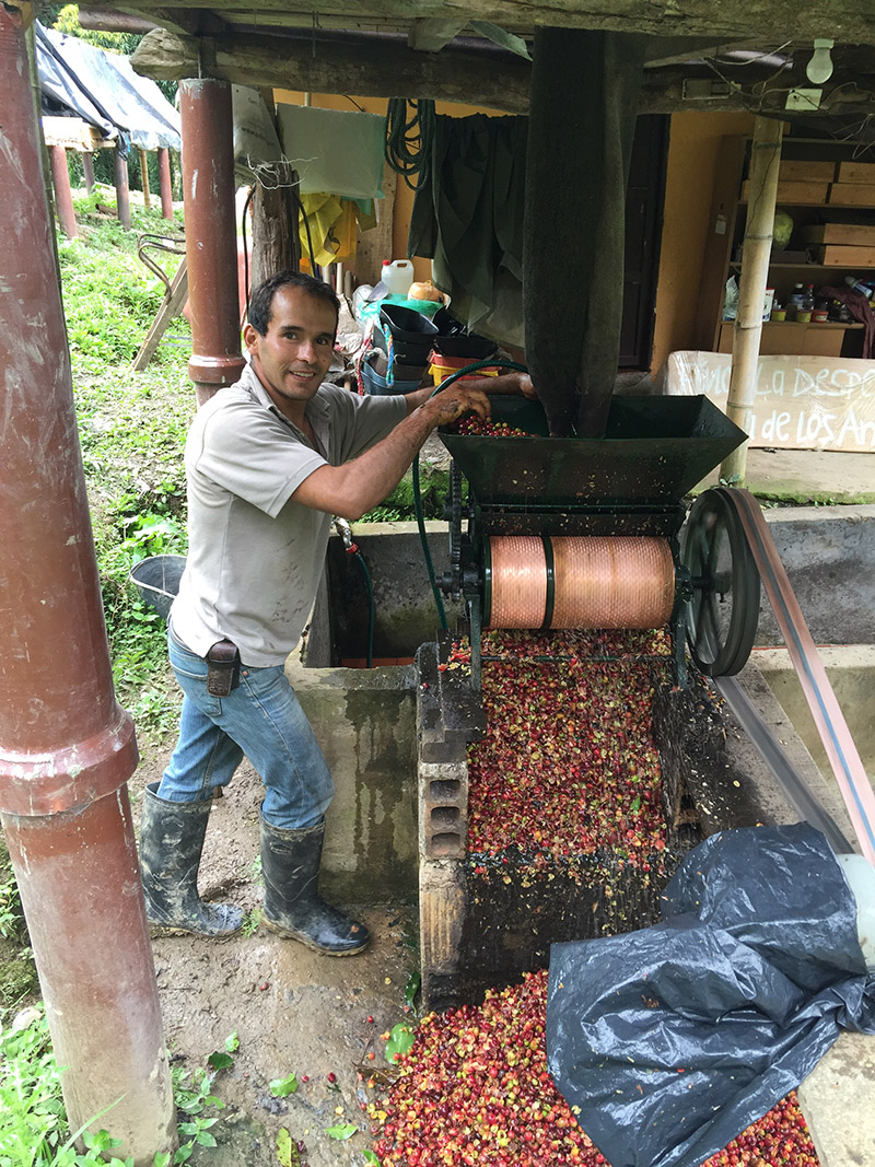 Once the coffee has been picked, processing must begin as quickly as possible to prevent fruit spoilage. At Finca La Despensa, we use the wet method of processing our coffee. The freshly harvested cherries are passed through a pulping machine to separate the skin and pulp from the bean so the bean is dried with only the parchment skin left on.