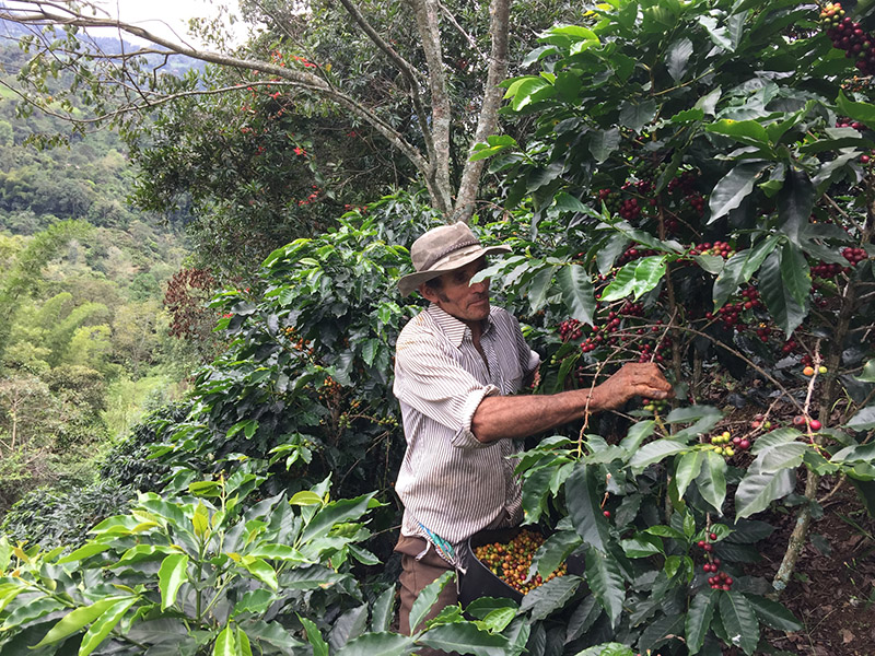 All our coffee is selectively picked, which means only the ripe cherries are harvested individually by hand. Pickers rotate among the trees every 7 to 14 days, choosing only the cherries which are ripe.