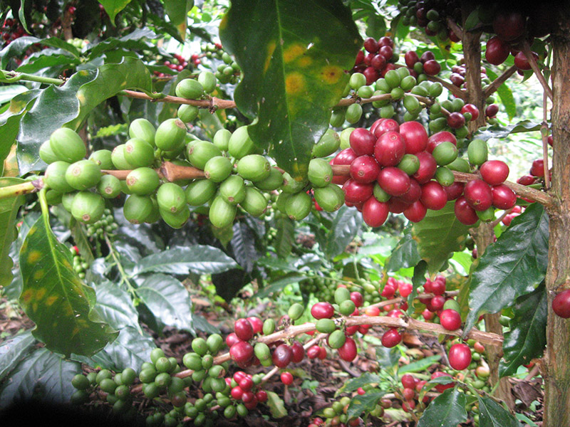 In Colombia, there are two flowerings annually; therefore there is a main harvest in May/June and secondary harvest toward the end of each year.