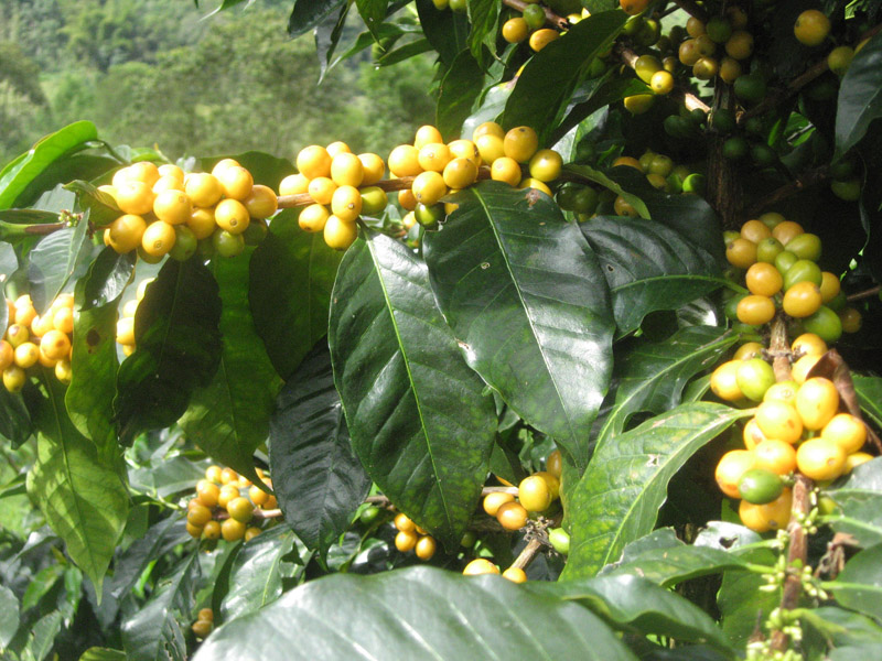 The fruit called the coffee cherry turns a bright yellow or deep red when it is ripe and ready to be harvested.
